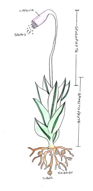 plant divisions mosses liverworts and hornworts sporangium diagram of moss
