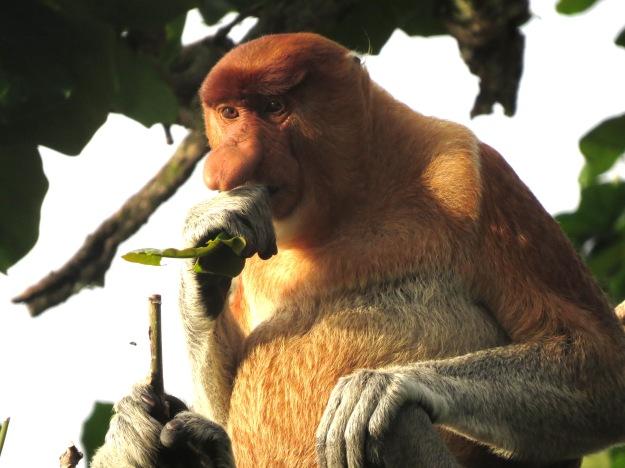 Proboscis monkey, Bako